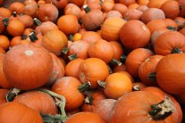 Lots of Little Pumpkins 735539 cropped